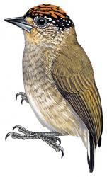 Picumnus subtilis