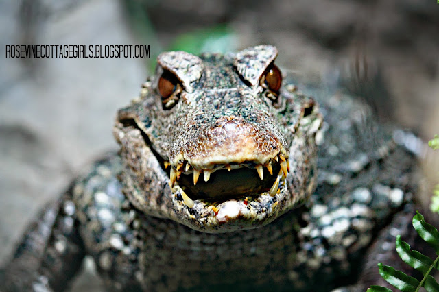 The smile of a caiman. (C) Rosevine Cottage Girls, A Walk on the Wild Side, Nashville Zoo, Nashville Zoo at Grassmere