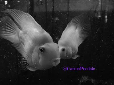 2 parrot cichlid fish