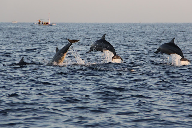 Penampakan Lumba-lumba di Lovina