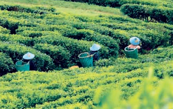 Perempuan pemetik teh di Kaki Gunung Papandayan