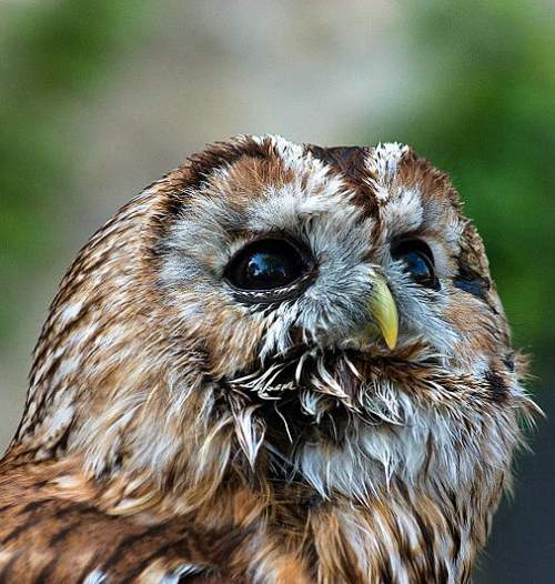 Indian birds - Image of Tawny owl - Strix aluco