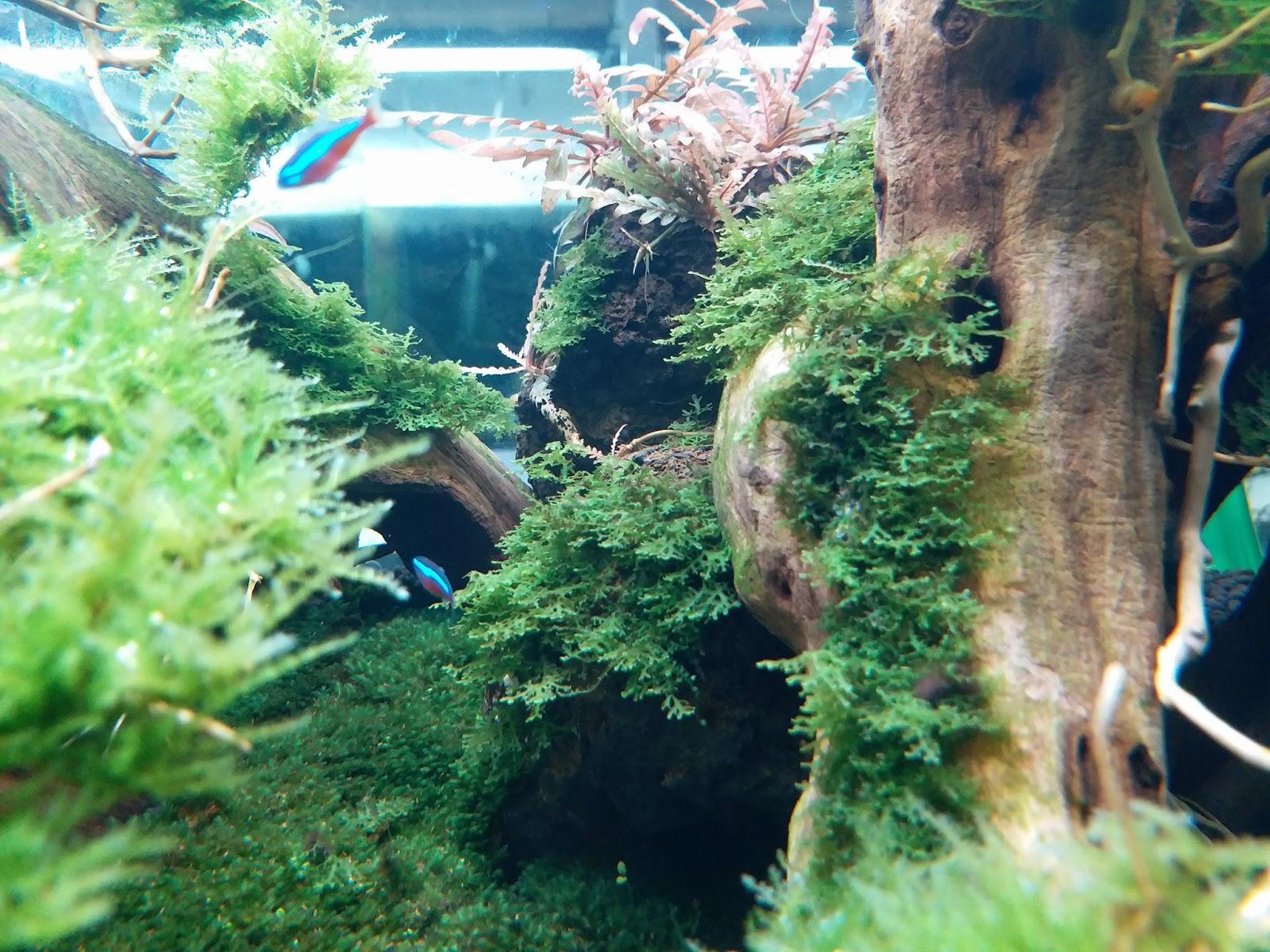 Rêu thủy sinh mini pelia trong hồ của bạn Ly Cherry