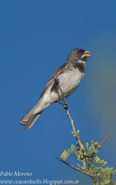 "alt=""corbatita,aves de Mendoza,Sporophila caerulescens"""