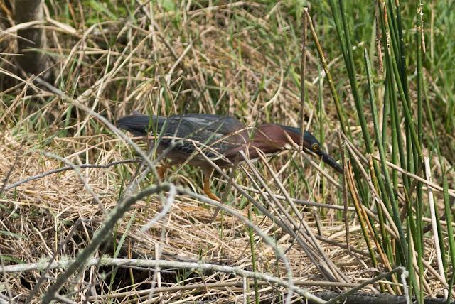 Green Heron - Viera Wetlands, Florida