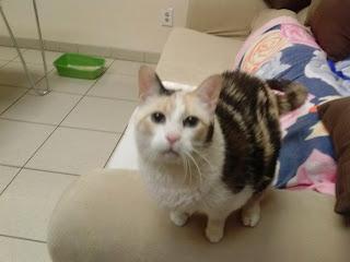 Diabetic cat Snowball relaxing