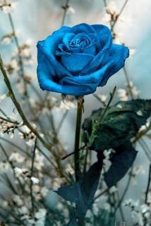 gambar bunga mawar indah 21