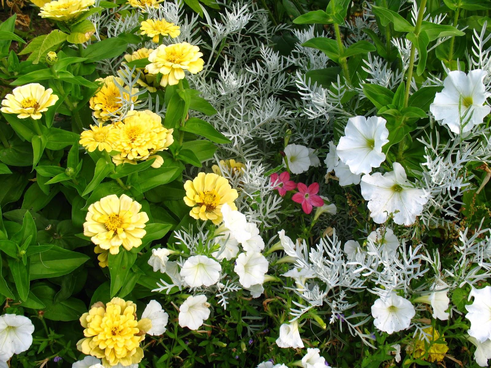 Roses du jardin ch neland cr ation d 39 un massif jaune et blanc for Composition jardiniere exterieure
