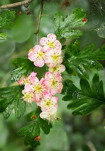 Close up of a clump of pink hawthorn flowers