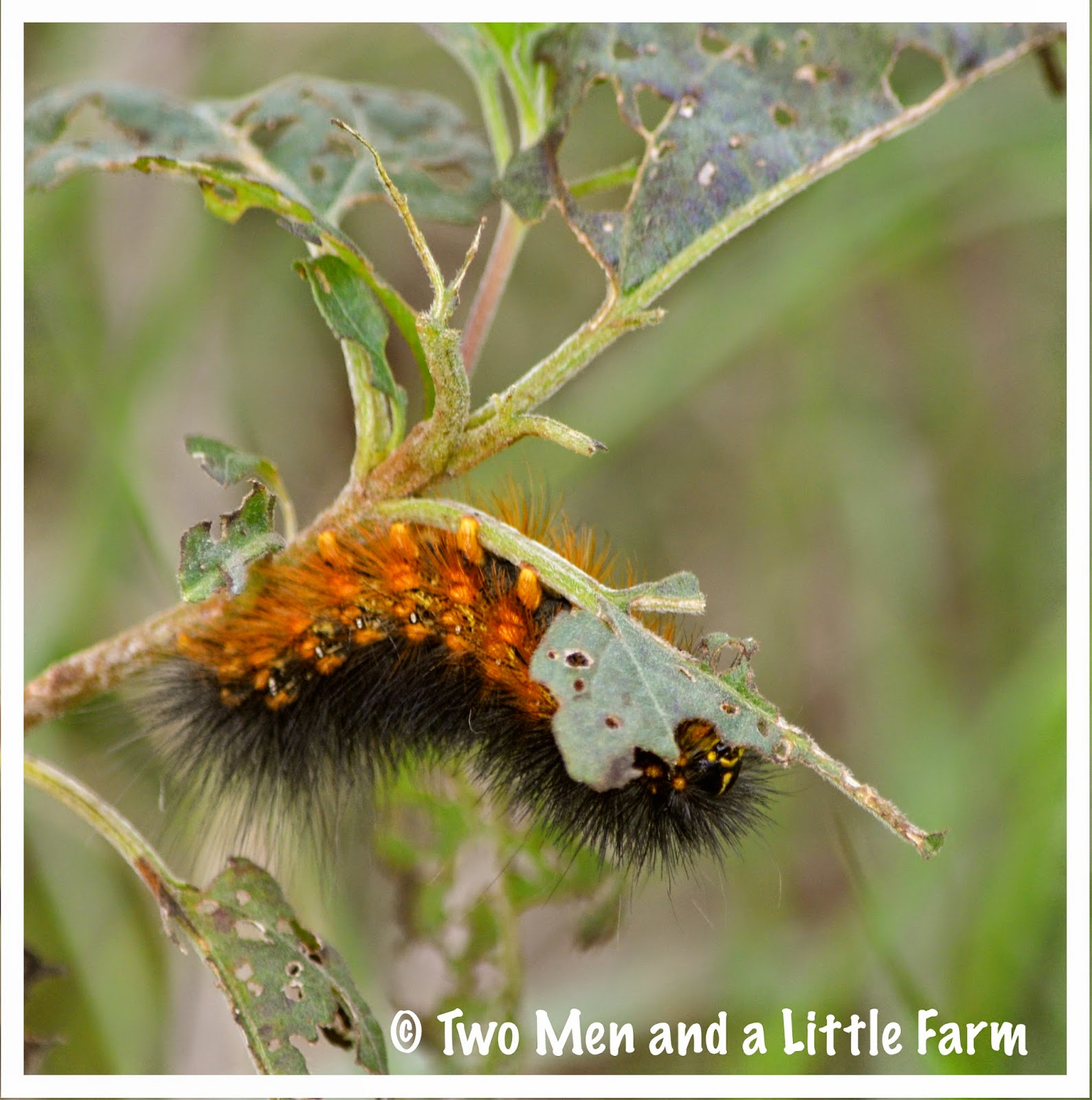 All Black Woolly Bear Caterpillars: Two Men And A Little Farm: BLACK WOOLY BEAR CATERPILLAR