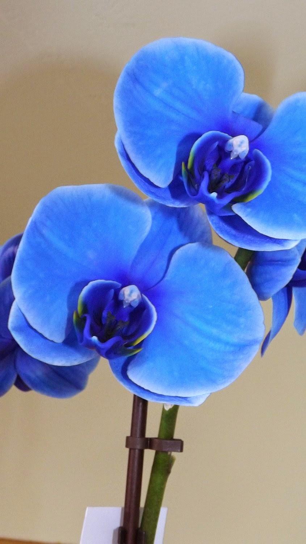 Cân cảnh hoa lan hồ điệp màu xanh dương