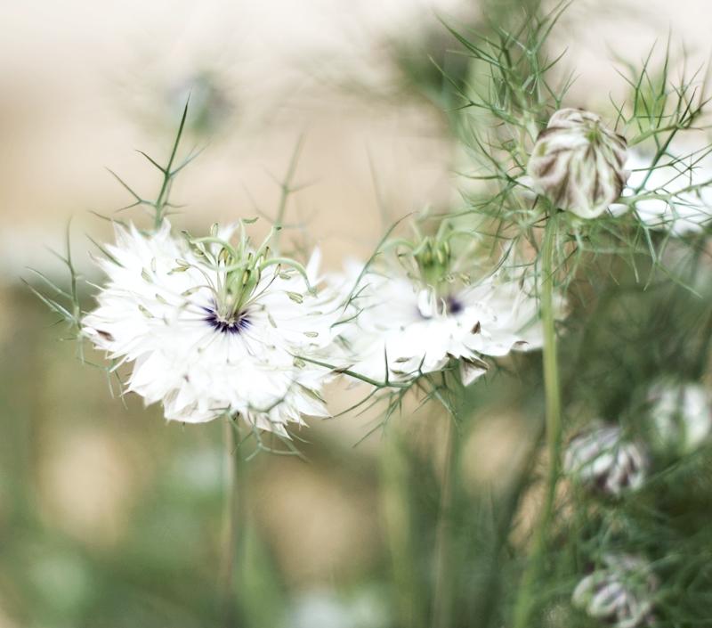 Blog + Fotografie by it's me! - Blüten von Jungfer im Grünen Nigella aus der Nähe