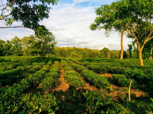 Tea Gardens of Mishing tribe located by the Kaziranga forest, Assam