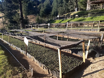 Monarch butterfly preserve sierra chincua michoacan mexico oyamel fir reforestation nursery
