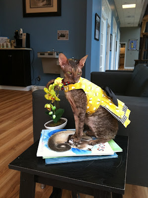 Kely the Cornish Rex cat posing on books at Just Cats Clinic
