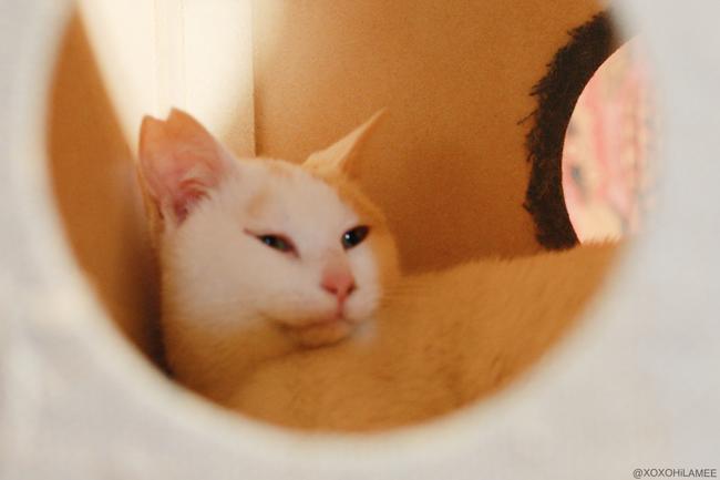 猫:保護猫カフェ ネコリパブリック ホワイトキャット