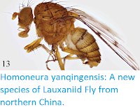 https://sciencythoughts.blogspot.com/2018/03/homoneura-yanqingensis-new-species-of.html