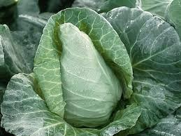 Spring cabbage ready for harvest