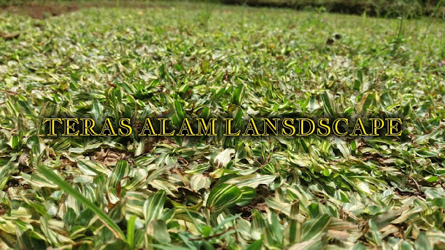 petani rumput gajah mini
