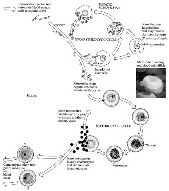 Fase aseksual plasmodium