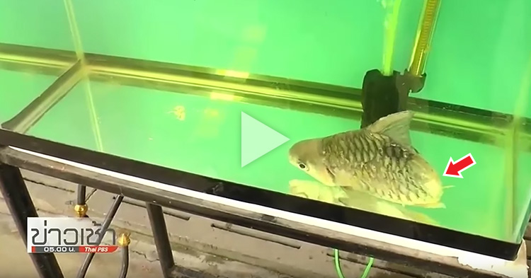 Fish lost half of its body and continued to live with the help of his owner