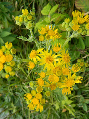 Tansy ragwort Jacobaea vulgaris at Skyline Trail Cape Breton Highlands National Park by garden muses-not another Toronto gardening blog