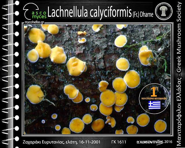 Lachnellula calyciformis (Fr.) Dharne