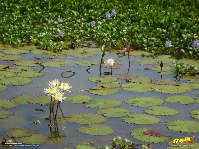 A small lotus pond by a road, during a road trip in coastal Karnataka