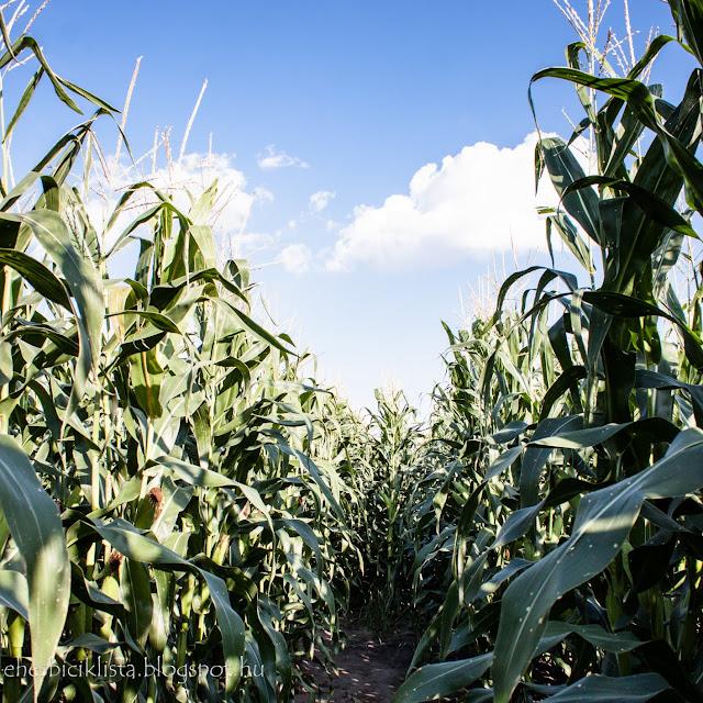 Kukoricás belseje nyáron kiszombor mellett