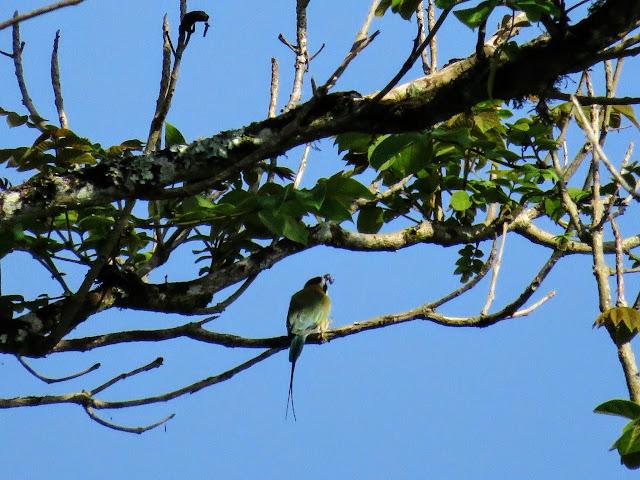 white-throated bee-eater at Bigodi Wetlands in Uganda
