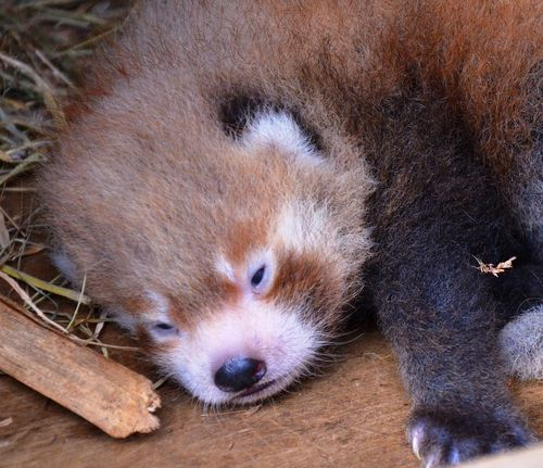 Four Cubs of Red Panda will find freedom in the wild of Singalila Darjeeling