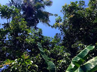 Manggo Banana Coconut Tree In Farm Field