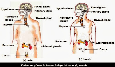 Endocrine Glands in Human Beings