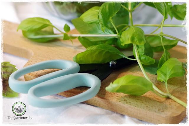 Basilikum pflege im Topf - Gartenblog Topfgartenwelt