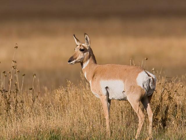 Antelope The Biggest Animals Kingdom