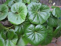 Resultado de imagen de farfugium japonicum hojas