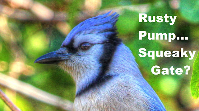 Blue Jay Rusty Pump Handle or Squeaky Gate Calls
