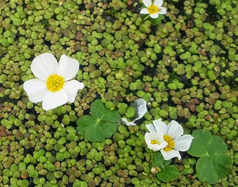 Ranúnculo acuático (Ranunculus peltatus)flor blanca