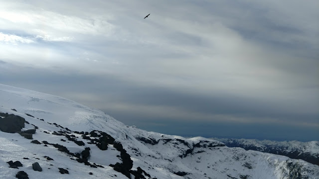 Andean condor flying over the icy ridge