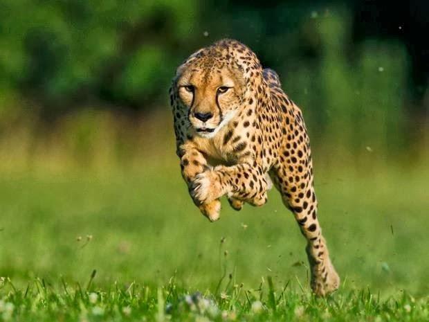 3d Cheetah Wallpaper I Love Cats Galeria De Fotos Felinos Selvagens
