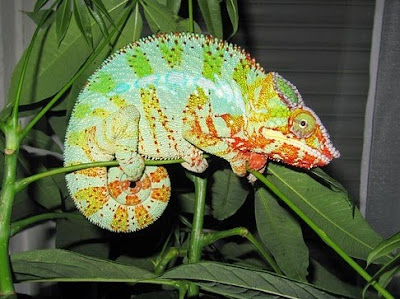 Chameleons are clearly the product of the design of the Creator, not evolution. Their ability to change color inspires biomimicry.