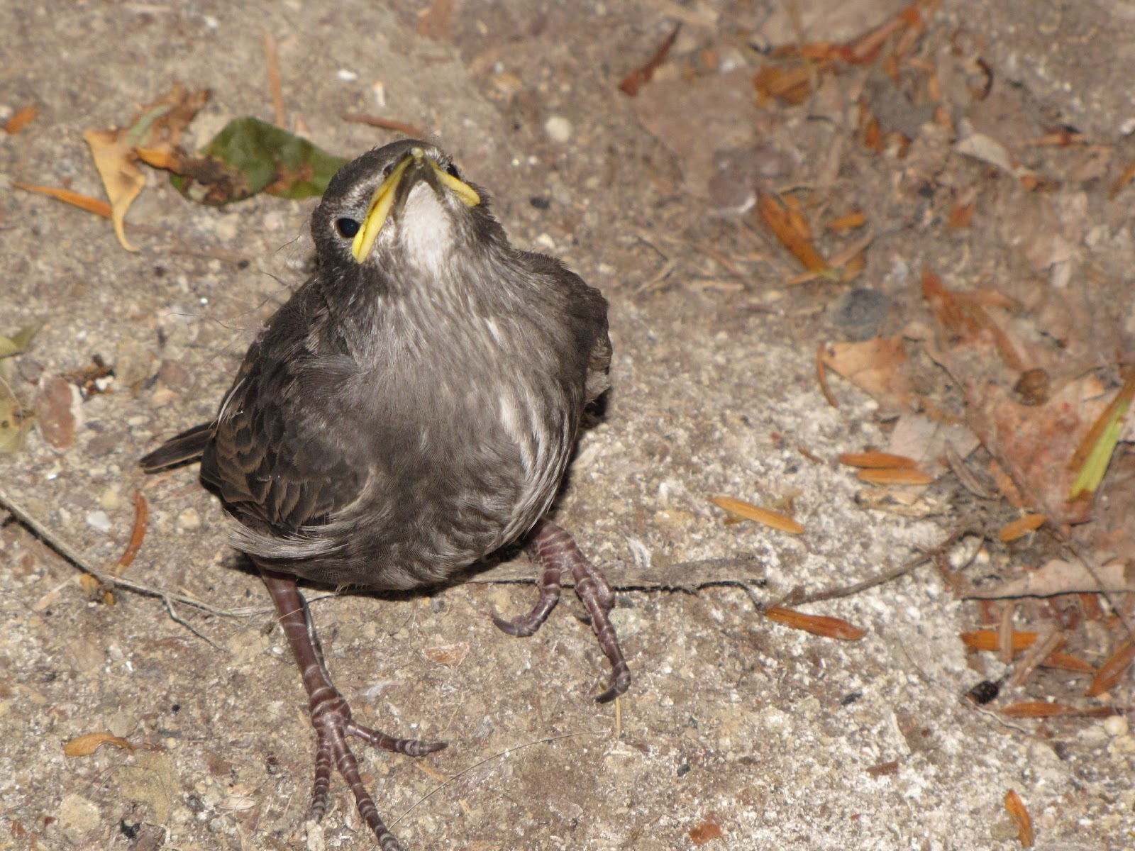 Images of Baby Starling Bird Call - #rock-cafe