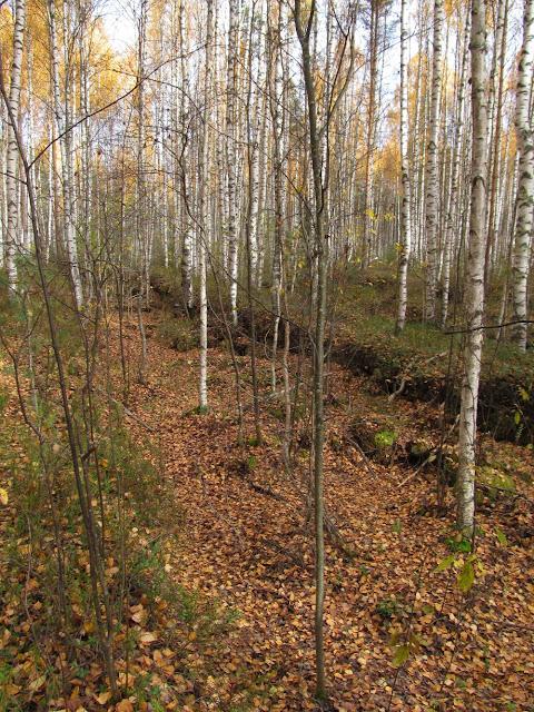лес на старых торфяных разработках