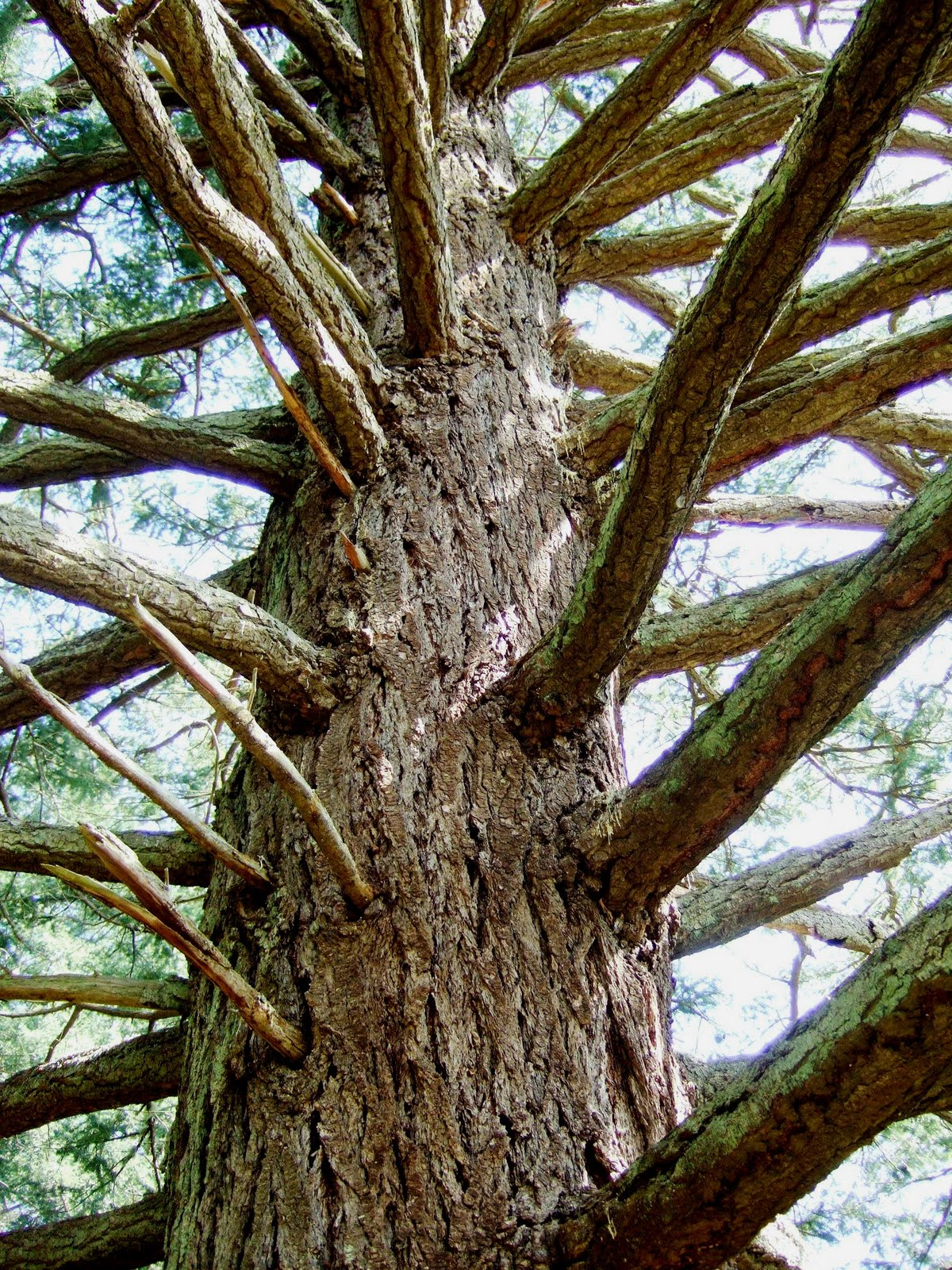Trees Of The Oregon Garden: Reading The Washington Landscape: Wolf Trees On Orcas Island