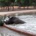 Hipopótamo Salva A Rinoceronte De Morir Ahogado En Un Lago