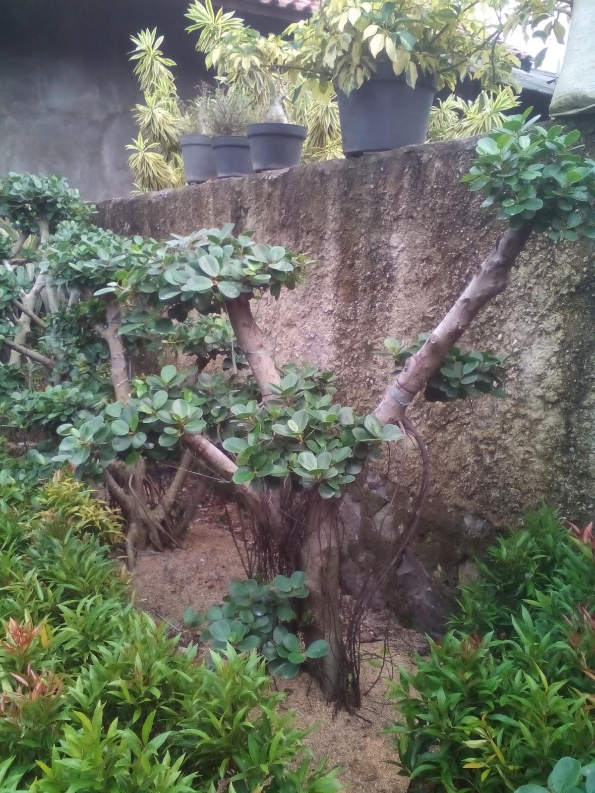Jual Bonsai Beringin Korea Tanaman Hias Tukang Taman