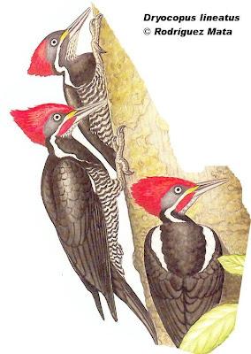 carpinteros de Argentina Carpintero garganta estriada Dryocopus lineatus