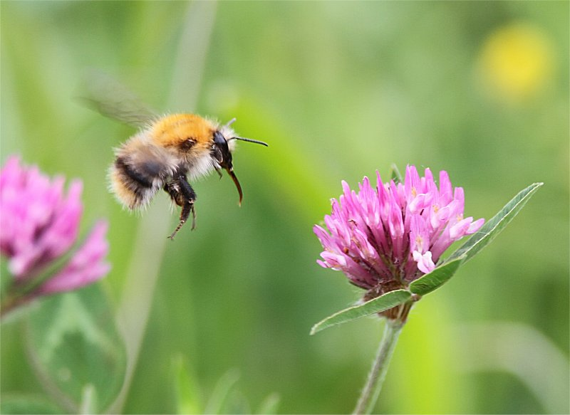 Murf's Wildlife : Ginger-tailed Carder Bee