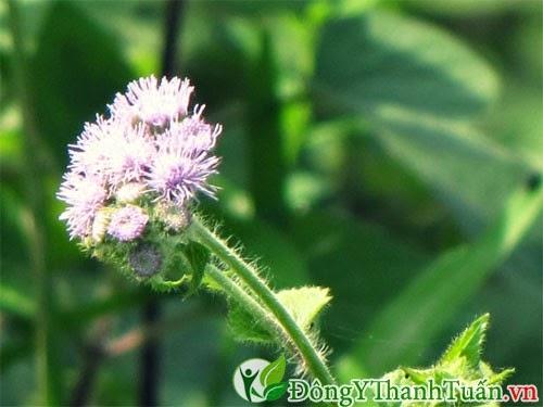 Bài thuốc chữa bệnh viêm xoang bằng hoa ngũ sắc