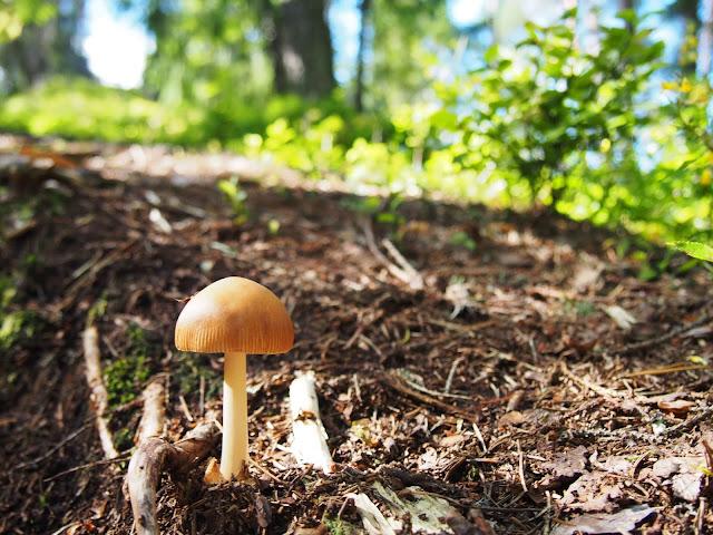 sieni, latokartano, lähimetsä